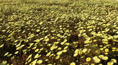 4K Motion Control Dolly/Pan Time Lapse of Wild Desert Dandelion -Tilt Up- Stock Footage
