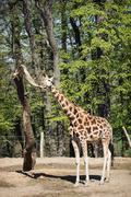 Tall Rothschild's giraffe - stock photo