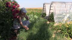 Gardener woman pick healthy natural dill plants in eco garden Stock Footage