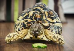 Leopard tortoise portrait - stock photo