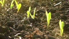 Growing Green Maize Corn Seedling Sprouts in Cultivated Agricultural Farm Field Stock Footage