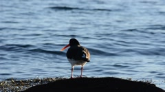 Oystercatcher bird standing on rock in ocean then flies away Stock Footage