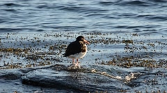 Oystercatcher bird standing on rock in ocean Stock Footage