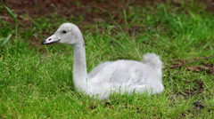 The young swan cleans feathers Stock Footage