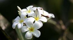 Tiare Flower (Gardenia taitensis) Stock Footage