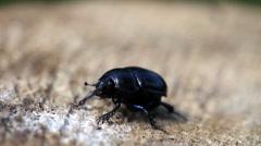 Black beetle on a stub Stock Footage