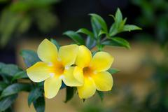 Two yellow allamanda flowers - stock photo