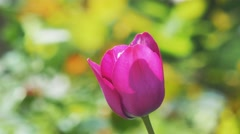 Violet tulip on a bright unfocussed background. 4K UHD. Stock Footage