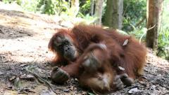 Mother and baby orangutan playing on forest floor Stock Footage