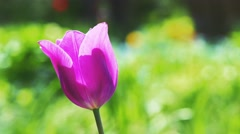 Purple tulip on a bright unfocussed green background. 4K UHD. Stock Footage