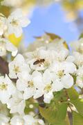 Honeybee harvesting pollen from blooming flowers Stock Photos