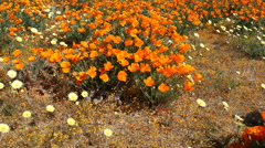Motion Control Dolly/Pan Time Lapse of Wild California Poppy -Tilt Up- Stock Footage