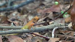 SALE! Calotes garden lizard (Agama) in forest in Thailand - 4k CLIP 2 Stock Footage
