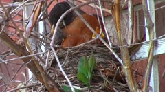 American robin (Turdus migratorius) nesting Stock Footage