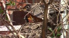American robin (Turdus migratorius) protecting Stock Footage