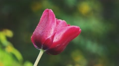 Close up of bright dark red tulip with water drops after rain on unfocussed Stock Footage