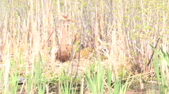 Sandhill Crane sitting on a nest Stock Footage