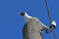Seagull bird electric pole Kuvituskuvat