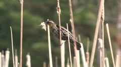 Red Winged Blackbird Female on Cattails Stock Footage
