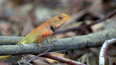 Calotes garden lizard (Agama) in forest in Thailand - 4k CLIP 3 Stock Footage