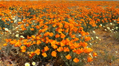 Motion Control Dolly/Pan Time Lapse of Wild California Poppy -Long Shot 1- Stock Footage