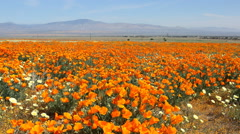 Motion Control Dolly/Pan Time Lapse of Wild California Poppy -Long Shot 2- Stock Footage