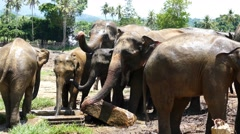 Elephants at Pinnawala in Sri Lanka 4k Stock Footage
