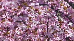 Ornamental apple tree flowers in the wind Stock Footage