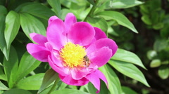Hoverfly collecting pollens of Paeonia lactiflora Stock Footage