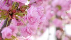 Cherry bloom closeup Stock Footage