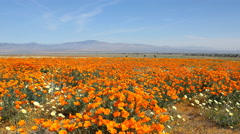 4K Motion Control Dolly/Pan Time Lapse of Wild California Poppy -Tilt Down- Stock Footage