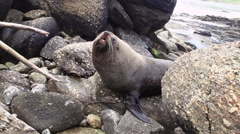 Fur Seal Stock Footage