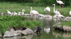 flock of flamingos in pond - stock footage