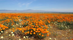 4K Motion Control Dolly/Pan Time Lapse of Wild California Poppy -Zoom In- Stock Footage
