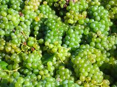 bunch of ripe white grapes - stock photo
