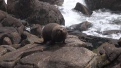 Fur Seal - stock footage