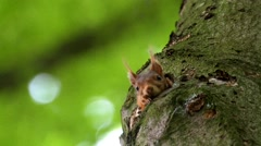 European Red Squirrel Hiding in Tree Hole Stock Footage