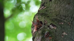 European Red Squirrel Hiding in Tree Hole - stock footage