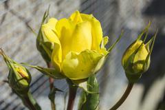 Yellow rose buds - stock photo
