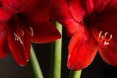 Red amaryllis flower on black background. Hippeastrum hortorum. Stock Photos