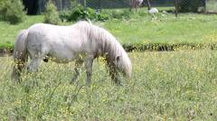 White pony horse Stock Footage
