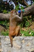Monkey drinking aerated soft drink - stock photo