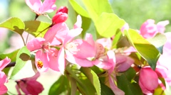 Pink peach bloom and ladybirl Stock Footage