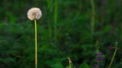 Dandelion spring - stock footage