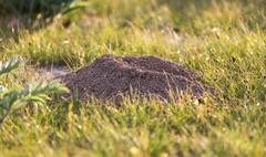 excavated soil mole nature - stock photo