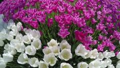 Overfly a variety of white & pink tulips Stock Footage
