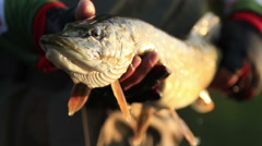 Fish caught pike Stock Footage