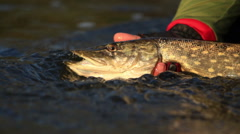 Fish pike in his hands Stock Footage