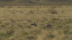 Slow Motion Grouse Dance - medium 96fps - stock footage
