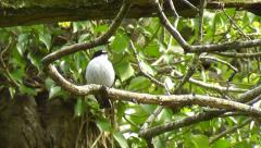 Male Pied Flycatcher singing and looking around while sitting on a branch Stock Footage